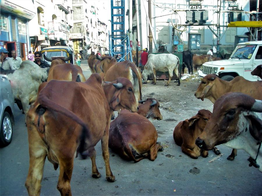 """Krave su svete zato što su Šiva i Brama su u jednoj inkarnaciji bili u obliku krava, pa se smatra da su sve krave sada """"deca Šive i Brame"""". """"Ali ako su krave svete, zašto ih Indijci onda puštaju da se zlopate na asfaltu i u smogu?"""" – pitali smo se. Odgovor je jasan: krava je mnogo pametnije i svetije biće od čoveka i ona odlično zna gde želi da bude, i čovek, kao običan smrtnik, ne može da određuje jednom božanskom, mudrom i svetom bižu kao što je krava, gde će prebivati."""