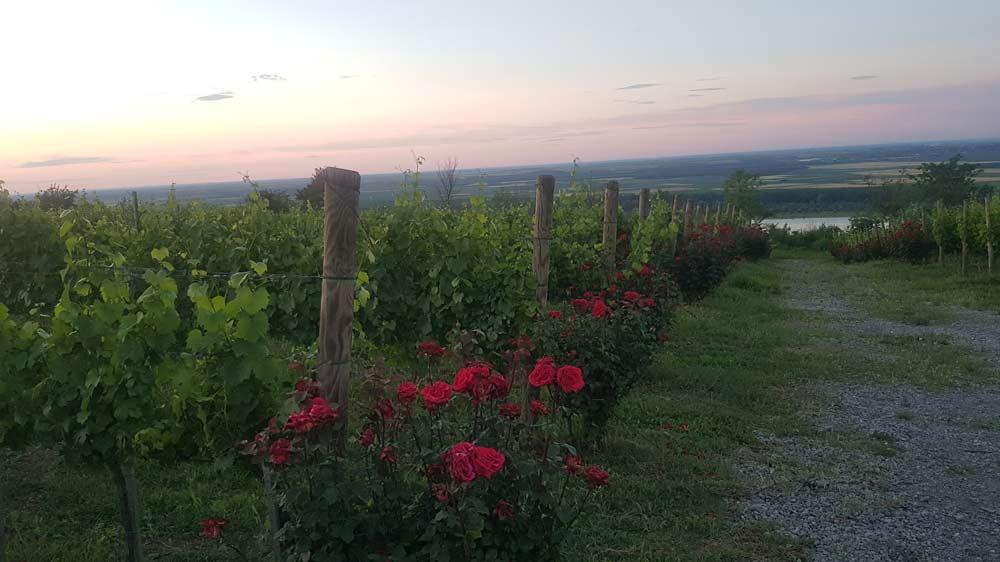 """Vinogradi sa pogledom. """"Šapat"""" na grebenu Fruške gore"""