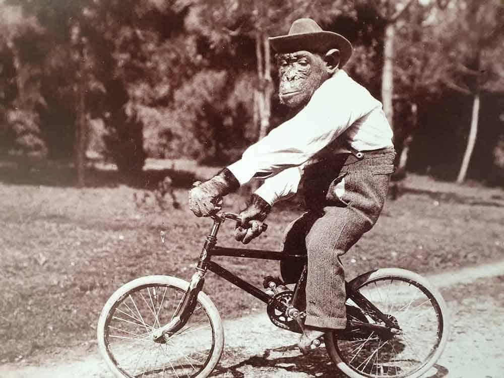 Šimpanza Missie je goste Briona početkom 20. veka zabavljala svirajući violinu, plešući na konopcu, vozeći bicikl...